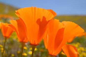 Poppies Spring Bloom 4. Lancaster, CA by Terry Eggers / Danita Delimont art print