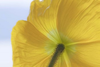 Underside Of Poppy Flower, Seabeck, Washington State by Jaynes Gallery / Danita Delimont art print