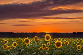 Sunset over Sunflowers by Michael Blanchette Photography art print