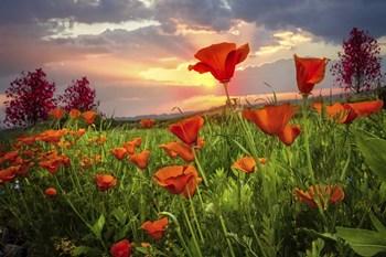 Sunrise Poppies by Celebrate Life Gallery art print